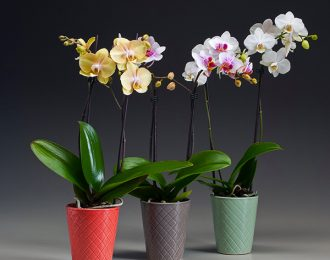 copy-of-3inch-phal-in-zoe-tri