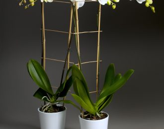 copy-of-6in-double-white-phal-with-with-trellace-in-white-pot