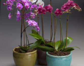 copy-of-6in-phal-in-gisselle-grouping